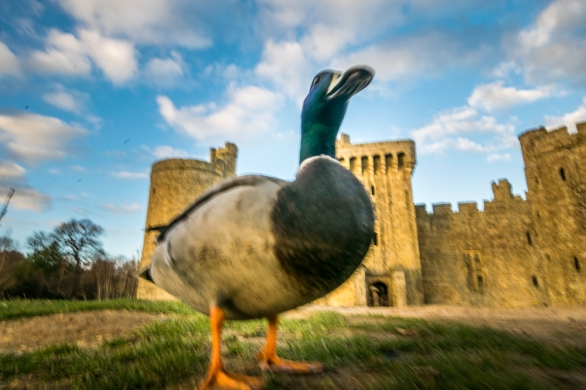 The moat ducks are audacious